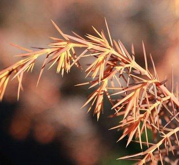 Juniperus communis 'Kalebab' 1