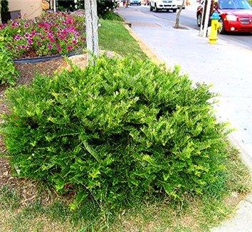 Cephalotaxus harringtonia 39 prostrata 39 cephalotaxus prostrata plum yew spreading japanese for Duke gardens plum yew