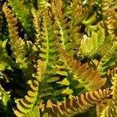 Blechnum microphyllum