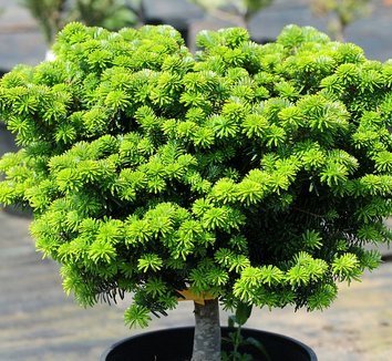 Abies koreana 'Cis' 7 form