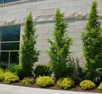 carpinus betulus 39 fastigiata 39 fastigiata european. Black Bedroom Furniture Sets. Home Design Ideas