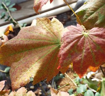 Acer japonicum 'Ruby Red' 6