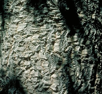 Abies lasiocarpa var. arizonica 4