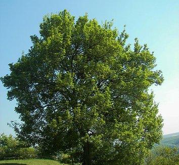 Acer campestre 1 form
