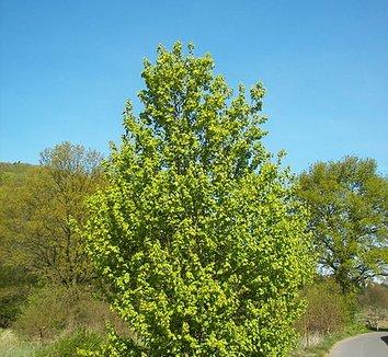 Acer campestre 2 form