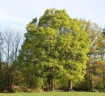 Acer campestre 3 form