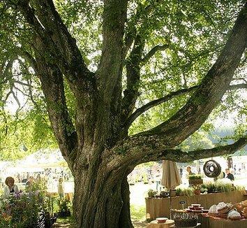 Acer campestre 5 trunk