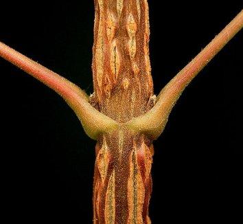 Acer campestre 6 stem