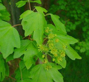 Acer campestre 8