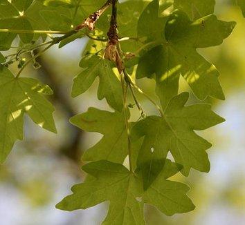 Acer campestre 9