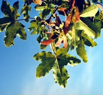 Acer campestre 12