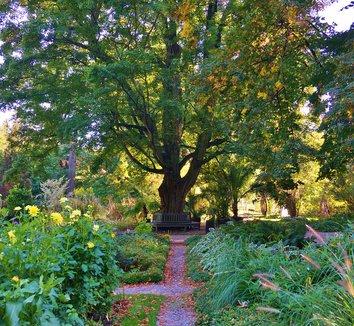Acer campestre 13 landscape