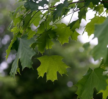 Acer saccharum 9