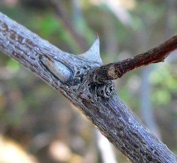 Caesalpinia cacalaco 3