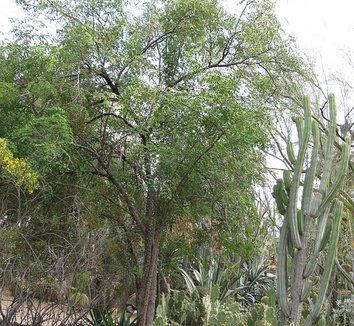 Caesalpinia cacalaco 4 form