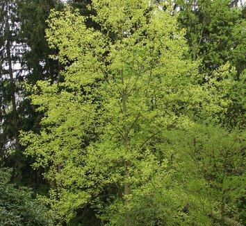 Liriodendron tulipifera 'Aureomarginatum' 1 form