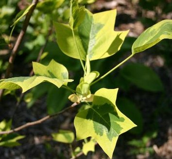 Liriodendron tulipifera 'Aureomarginatum' 8