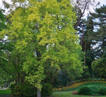 Liriodendron tulipifera 'Aureomarginatum' 8 form