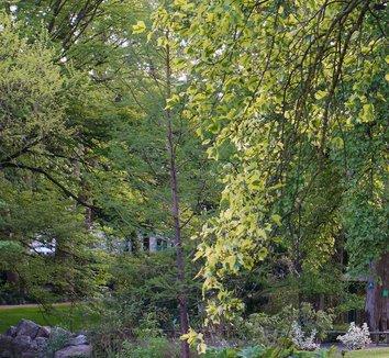 Liriodendron tulipifera 'Aureomarginatum' 9 form