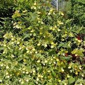 Calceolaria bilatata