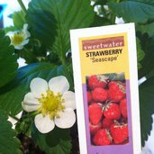 Fragaria 'Seascape'