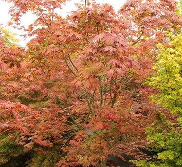 Acer palmatum 'Ariadne' 9 form