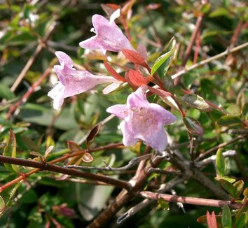 Abelia x grandiflora 'Edward Goucher' 1 flower