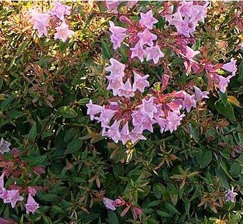 Abelia x grandiflora 'Edward Goucher' 12 flower