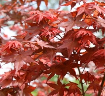 Acer palmatum 'Beni kawa' 14