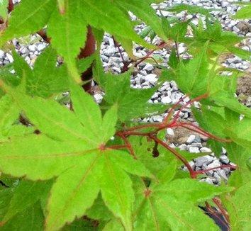 Acer palmatum 'Beni kawa' 15