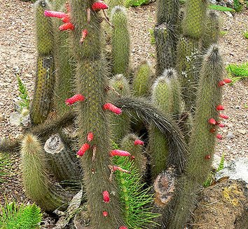 Cleistocactus hyalacanthus 8 flower, form