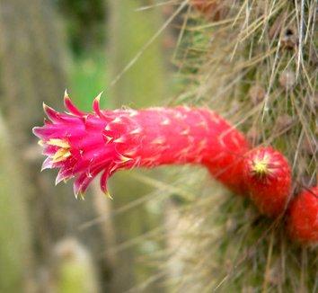 Cleistocactus hyalacanthus 7 flower