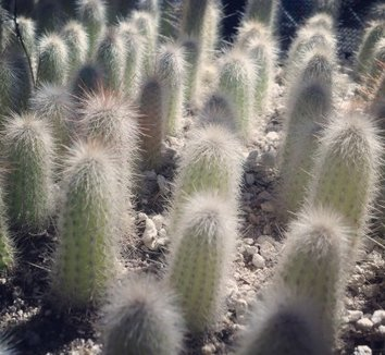 Cleistocactus hyalacanthus 13 form