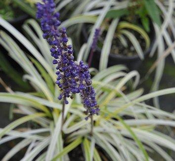 Liriope 'Pamela Harper' 1 flower