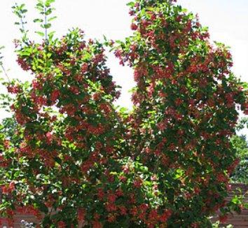 Acer tataricum 'GarAnn' PP15023 6 form