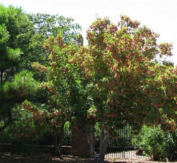 Acer tataricum 'GarAnn' PP15023 4 form