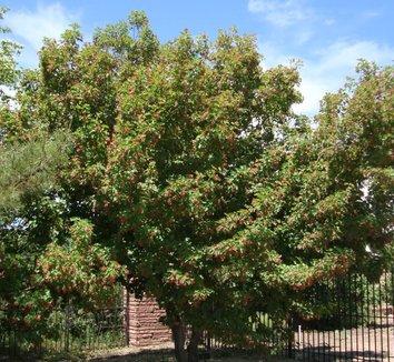 Acer tataricum 'GarAnn' PP15023 9 form