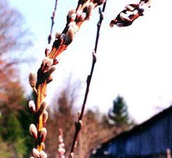 Salix udensis 'Sekka' 9