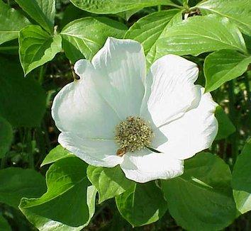 Cornus nuttallii 1 flower