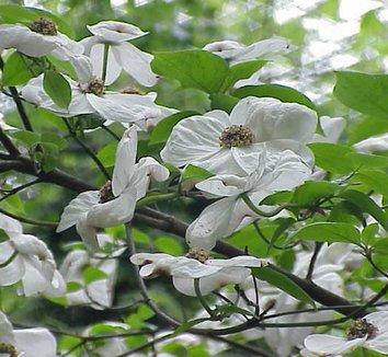 Cornus nuttallii 5 flower