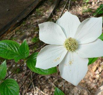 Cornus nuttallii 8 flower