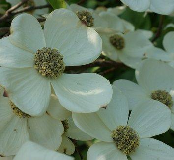 Cornus nuttallii 9 flower
