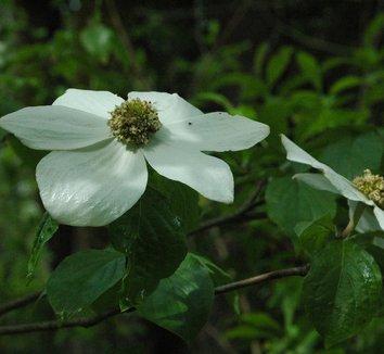 Cornus nuttallii 11 flower