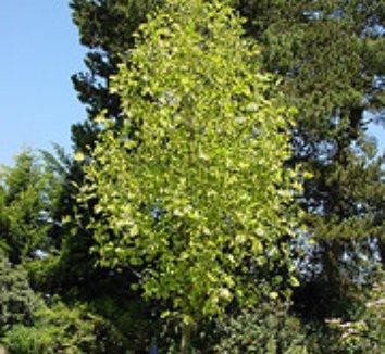 Liriodendron tulipifera 'Aureomarginatum' 7 form