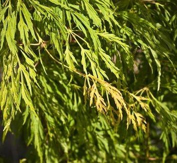 Acer japonicum 'Ao jutan' 6