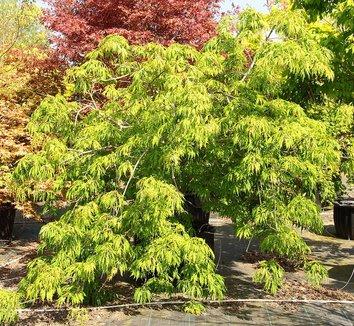 Acer japonicum 'Ao jutan' 1 form