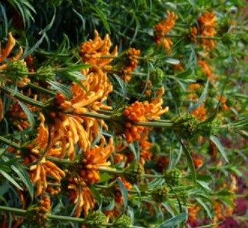 Leonotis leonurus 8 flower