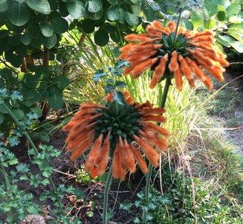 Leonotis leonurus 12 flower