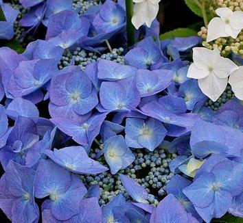 Hydrangea macrophylla 'Blaumeise' 1 flower