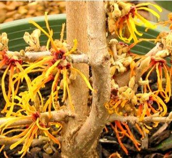 Hamamelis x intermedia 'Jelena' 8 flower